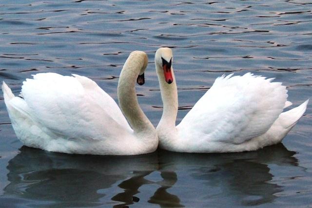 Мечта лебедей быть вместе