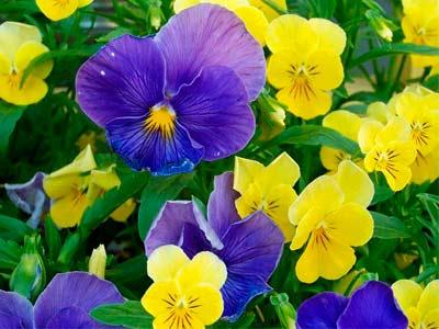Красивые цветы Анютины глазки