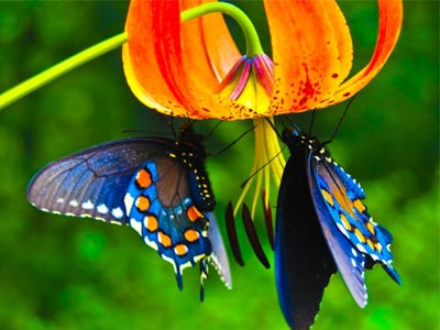 Синие бабочки