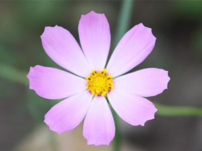 Сиреневый цветок