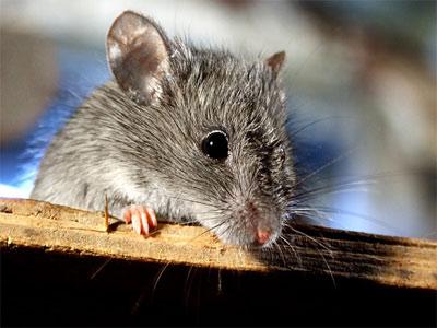 Серая полевая мышь