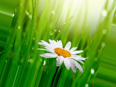 ромашка на фоне мокрой травы