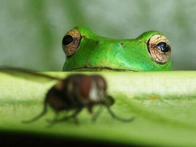 Лягушка следит за мухой