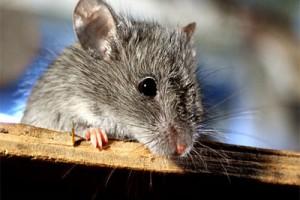 Мышь – символ благосостояния семьи