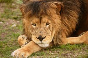 Страх неудачи, или Как охотятся старые львы